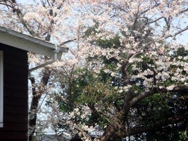 Sakura10-1