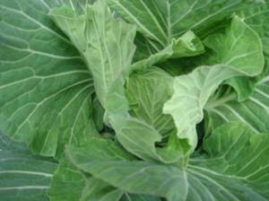 Cabbageinpot