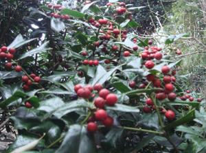 Holly_tree09
